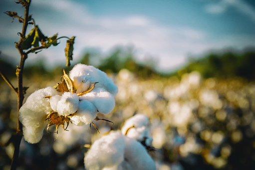 ICAC, Dr. Baohong Zhang, genética del algodón, cultivo del algodón, algodón transgénico