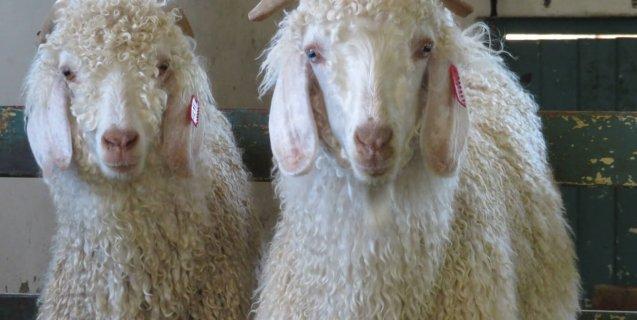Inditex, H&M, GAP, Arcadia, organización animalista, Personas por el Trato Ético de los Animales, exposé de PETA , mohair, PETA, cabra de angora, Mimi Bekhechi,