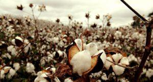 Mercado del algodón, Cotlook, campaña 2018/2019
