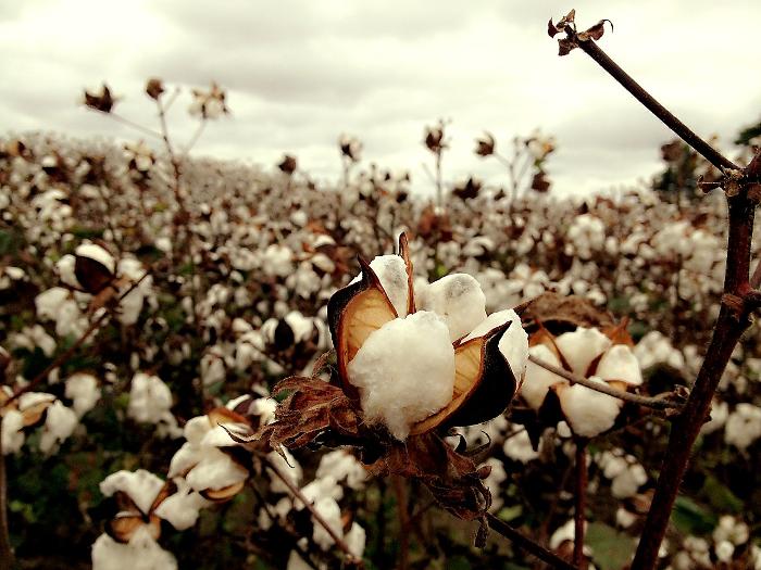 Algodón orgánico, trazabilidad textil, Organic Cotton Traceability Pilot, C&A, C&A Foundation, Bext360, Fashion for Good