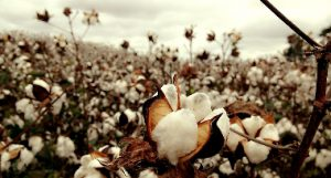 Algodón orgánico, trazabilidad textil, Organic Cotton Traceability Pilot, C&A, C&A Foundation, Bext360, Fashion for Good